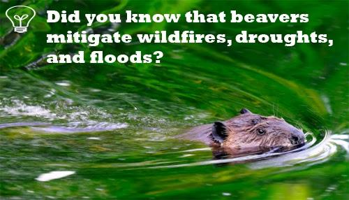 Фотография плывущего бобра с текстом, наложенным на него: «Знаете ли вы, что бобры смягчают последствия лесных пожаров, засух и наводнений?»