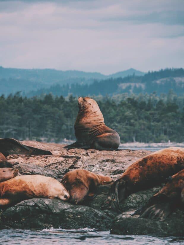 морские львы, сидящие на скалах в океане